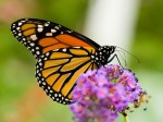 farfalla_monarca